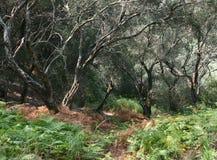 Brända olivträd Royaltyfri Fotografi