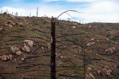 Brända träd från skogsbrand royaltyfri fotografi