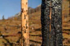 Brända träd på berget efter löpeld arkivbilder
