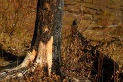 Brända träd på berget efter löpeld royaltyfria foton