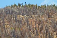brända trees Arkivfoto