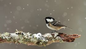 Bränna till kol mesen (Periparus ater) i fallande snö. royaltyfri fotografi