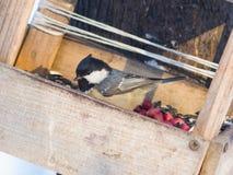 Bränna till kol mesen, Periparus ater, närbildstående på birdfeeder, den selektiva fokusen, grund DOF Arkivbilder