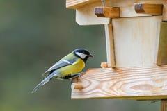 Bränna till kol mesfågeln i gula grå färger med den svarta vita nacken som sätta sig på w Royaltyfria Foton