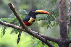 Brännhet-fakturerad Aracari Pteroglossus frantzil Royaltyfri Fotografi