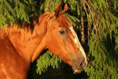 brännhet häst Arkivfoton