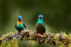 Brännhet-throated kolibri-, Panterpe insignis och den storartade kolibrin, Eugenes fulgens på mossan förgrena sig med regn Wildli Royaltyfri Foto