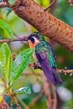 Brännhet-throated kolibrisammanträde på en filial - Alajuela, Costa Rica Fotografering för Bildbyråer