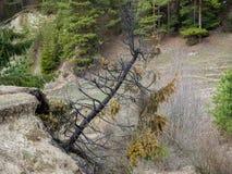 Bränt sörja trädet nära pinjeskog på den tidiga våren fotografering för bildbyråer