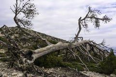 Bränt träd efter en skogsbrand, Parnitha Grekland Arkivfoton