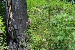 Bränt träd från skogsbrand Royaltyfria Foton