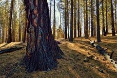 Bränt träd, Lassen vulkanisk nationalpark Arkivbild