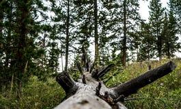 Bränt träd på jordningen i skogen arkivbild