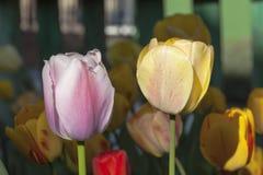 Bräunende Tulpen Stockfoto