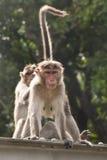Bräutigam mit zwei indischer Affen sozial Lizenzfreies Stockfoto