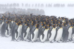 Bråte för konungpingvin Royaltyfri Fotografi