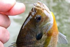 Brème de poisson de soleil Photos libres de droits