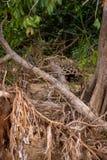 Brésilien Pantanal - Jaguar photos stock