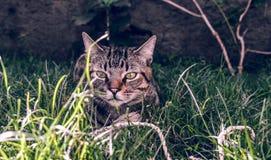 Brésilien Shorthair Cat Holding son jouet préféré de corde sur l'herbe Photos libres de droits