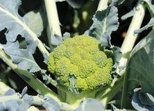 Brócolis frescos. Imagens de Stock