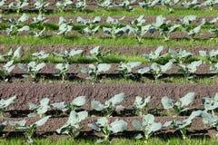 Brócolis que crescem nas fileiras Fotografia de Stock
