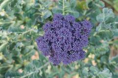 Brócolos roxos Imagens de Stock