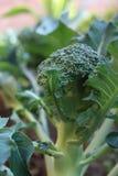 Bróculi de Calabrese Foto de archivo libre de regalías