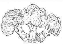 Bróculi Handdrawn ilustración del vector