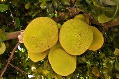 brödfrukt Arkivfoto