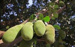 Brödfrukt på ett träd i Burundi, Afrika Fotografering för Bildbyråer