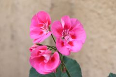 Brödraskap på naturmalvan Rose Magenta Melva royaltyfria foton