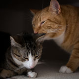 Brödraskapet av två katter Arkivbilder