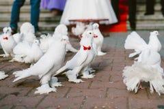 Bröllopduvor royaltyfri fotografi