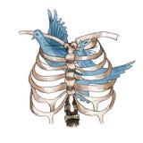 Bröstkorg och duva för vattenfärg som skelett- inom klibbas royaltyfri illustrationer