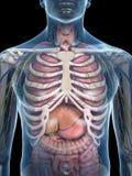Bröstkorganatomin Arkivbild