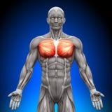 Bröstkorgen/den viktiga pectoralisen -/Pectoralisminderåriget - anatomi tränga sig in Arkivbild