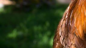 Bröstkorgfjädrar av en brun tupp, La Serena, Chile Fotografering för Bildbyråer