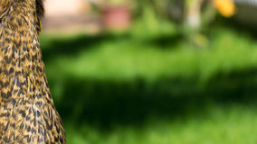 Bröstkorgfjädrar av en nedfläckad brun höna, La Serena, Chile royaltyfria foton