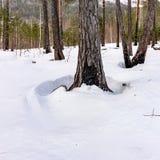 Brûlé après des troncs d'un pin d'incendie de forêt couverts de neige blanche photo libre de droits
