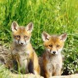 Brüder des roten Fuchses lizenzfreies stockbild