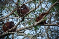 Brüllaffe auf einem Baum im Naturlebensraum Stockfotografie