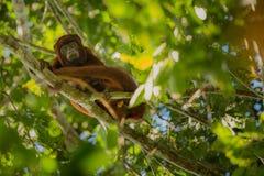 Brüllaffe auf einem Baum im Naturlebensraum Lizenzfreies Stockfoto