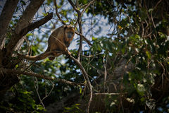 Brüllaffe auf einem Baum im Naturlebensraum Stockbilder