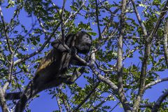 Brüllaffe, die im Baum klettert Stockfoto