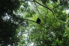 Brüllaffe im Baum Stockfotografie