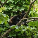 Brüllaffen in einem Baum Stockbild