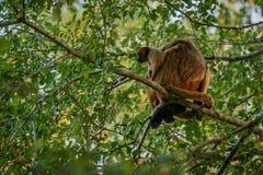 Brüllaffen wirklich hoch auf einem riesigen Baum im brasilianischen Dschungel Lizenzfreie Stockfotos