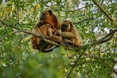 Brüllaffen wirklich hoch auf einem riesigen Baum im brasilianischen Dschungel Lizenzfreies Stockfoto