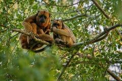 Brüllaffen wirklich hoch auf einem riesigen Baum im brasilianischen Dschungel Lizenzfreie Stockfotografie