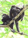 Brüllaffetruppe, die im Baum mit entzückendem Baby, corcovad stillsteht Stockfoto